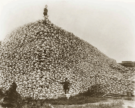 a pyramid of bison skulls
